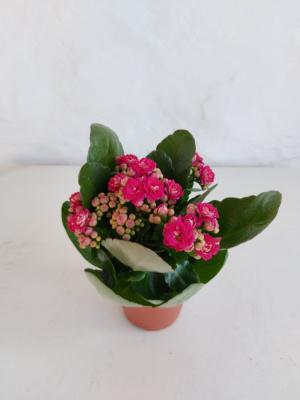 Planta de interior - Kalanchoe (2und)